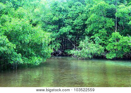 Mangrove Swamp In Sainte Rose In Guadeloupe