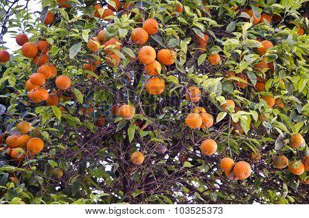 Fresh Oranges On Green Tree