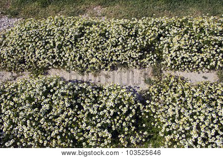 Chamomile Flowering From Above