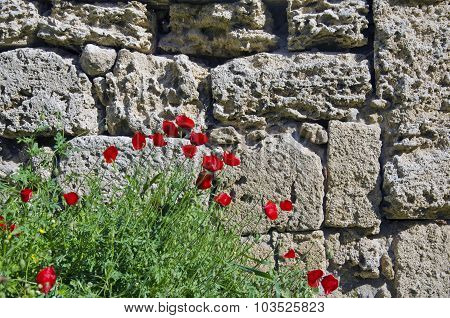 Red Poppies Flowering Besides Old Stone Wall