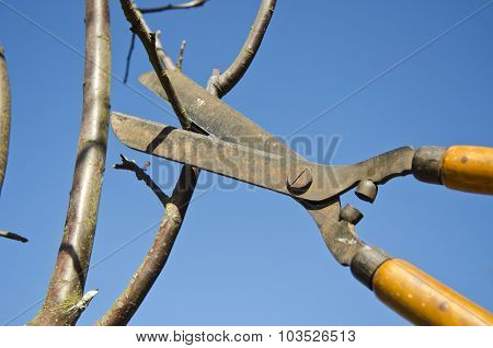Pruning Apple Tree Branch With  Scissors In Spring