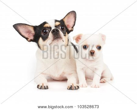 Bitch Of Chihuahua And Its Puppy