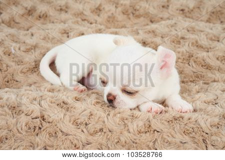 White Puppy On Bed