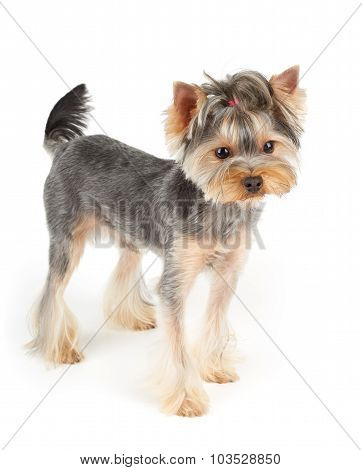 Yorkie Stands On White
