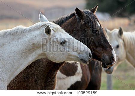 Two Loving Horses At Horse Farm