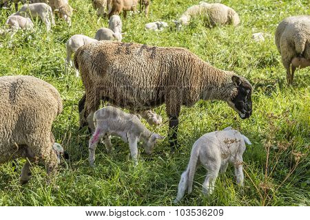 Flock Of Sheep On A Green Pasture Suggesting Organic Grown Farm Animals