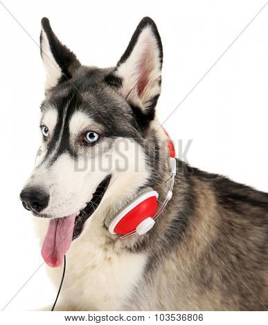 Beautiful huskies dog with headphones isolated on white
