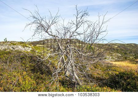 Polar alpine birch.