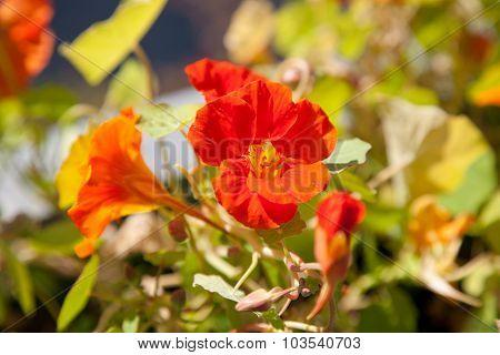 Nasturtium Flower With Orange Red Blossom