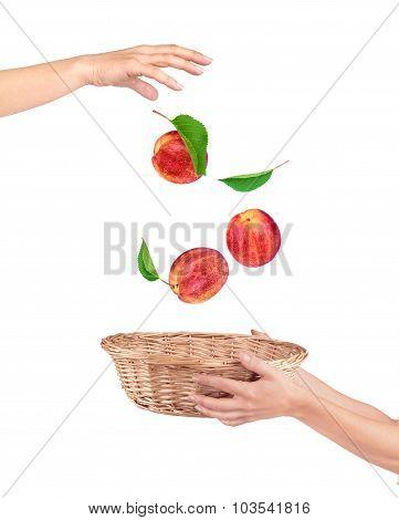 Peaches Falling Into The Basket On White