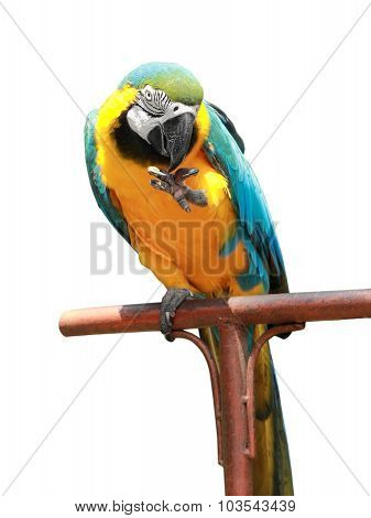 Blue-and-yellow Macaw Isolated
