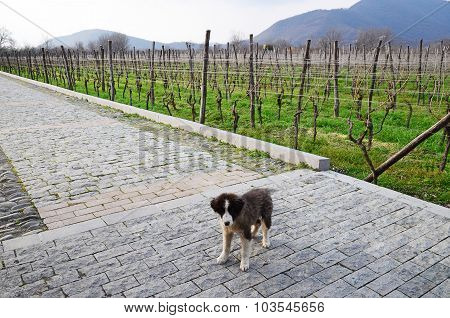 Small dog on the path near vineyard