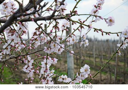 Flowering cherry branches in early spring in Kakheti