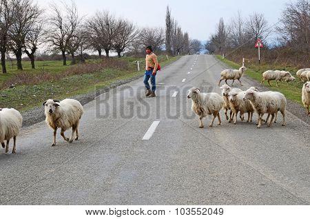 Kakheti, Georgia-March,3 2015: Shepherd leads a flock of sheep across the road