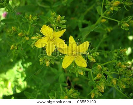 Yellow Blossoming Of Flower