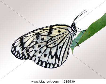 Blackwhite Butterfly Jpg