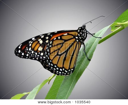 Monarch Butterfly Gray Bgrd