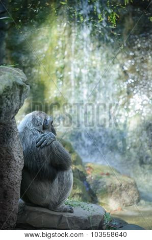 Chimpanzee Resting In Front Of Waterfall