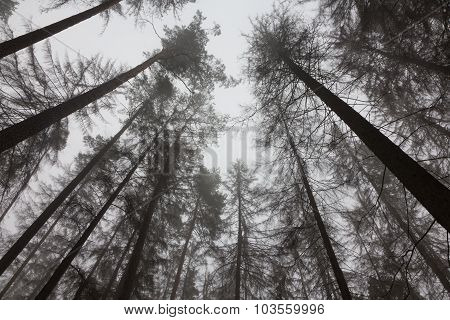 Dead Trees Of Coniferous Stand In Mist