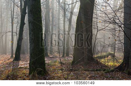 Autumnal Morning In The Forest With Mist And Old Trees