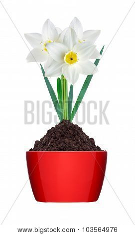 White And Yellow Color Daffodil In Ground In Red Pot Isolated On White Background