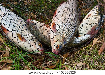Several Of Roach Fish On The Withered Grass.