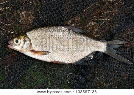 Close Up View Of The Bream Fish Just Taken From The Water.