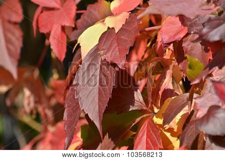 Autumn Leaves Grapes.