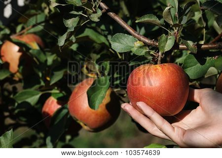 Picking A Red Ripe Apple