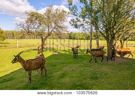 Herd Of Goats On Pasture.