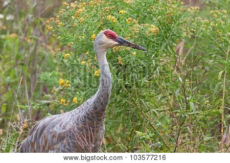 Sandhill Crane In Goldenrod