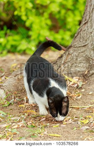 Black And White Cat Eats From A Ground