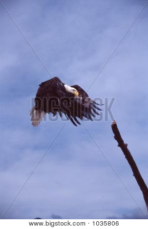 Bald Eagle In Flight Haliaeetus Leucocephalus 9