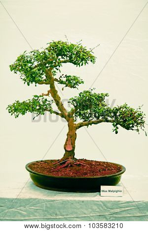 Bonsai Tree Of Wax Malpigha Tree, India