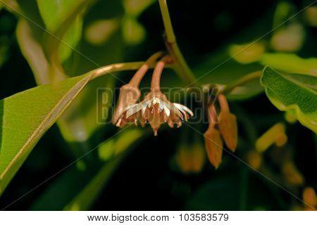 Mimusops Elengi, Spanish Cherry