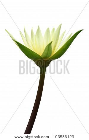 Lotus Isolated On White