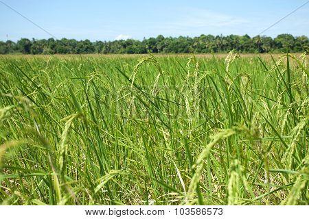 Landscape Of Rice Field
