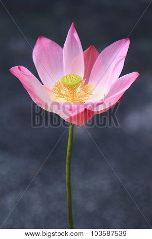 Pink  Waterlily On Tropical Garden