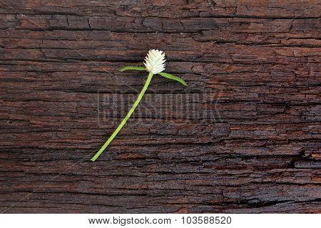 White Globe Amaranth On Old Wood Background