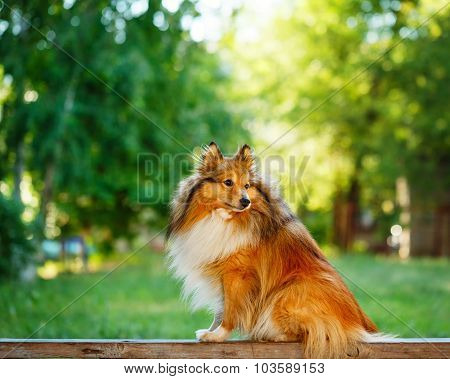 Sheltie Dog For A Walk In The Park.