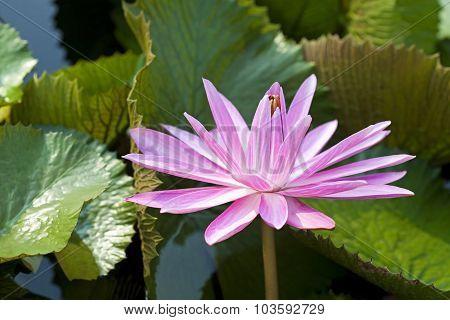 Blossom Lotus Flower