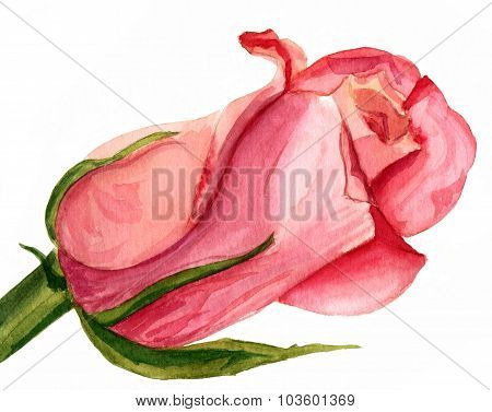 A watercolour drawing of a pink rose on white background