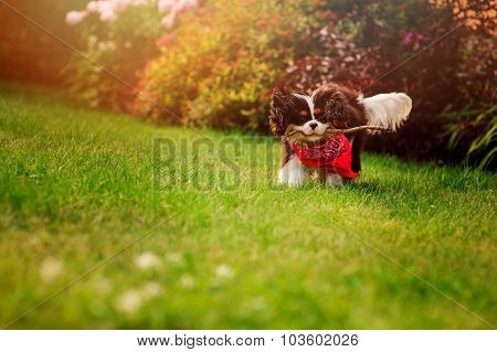 young fluffy tricolor cavalier king charles spaniel dog playing and running with stick in summer