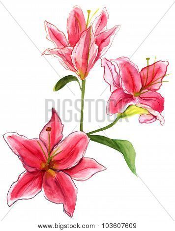 Watercolour lilies on white background