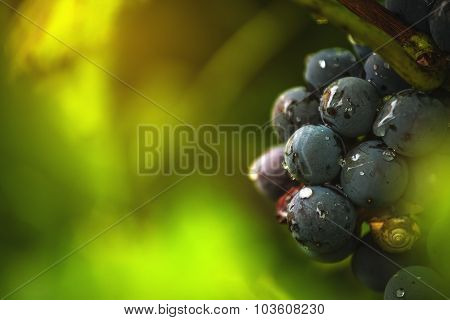 Wine Grapes In Vineyard After Rain