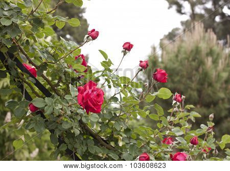A branch of red roses in a park against a natural background in the Retiro park, Madrid, Spain