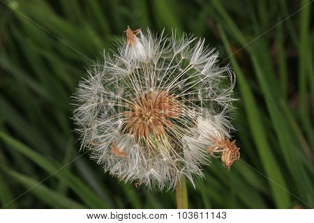Dandelion Flower Gone To Seed.