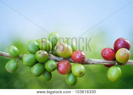 Coffee Tree With Ripe Berries On Farm