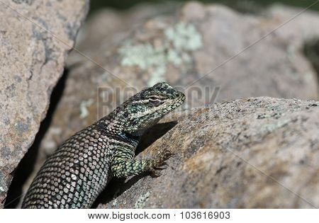 Yarrow's Spiny Lizard Close-Up