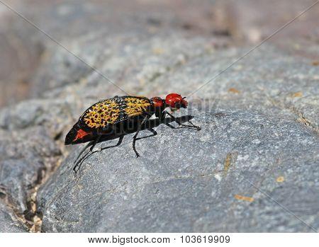 An Iron Cross Blister Beetle (Tegrodera aloga). Shot near Lower Tanque Verde Falls Arizona USA.
